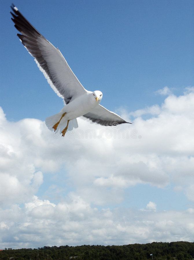 Free Seagull In The Flight Royalty Free Stock Images - 264339