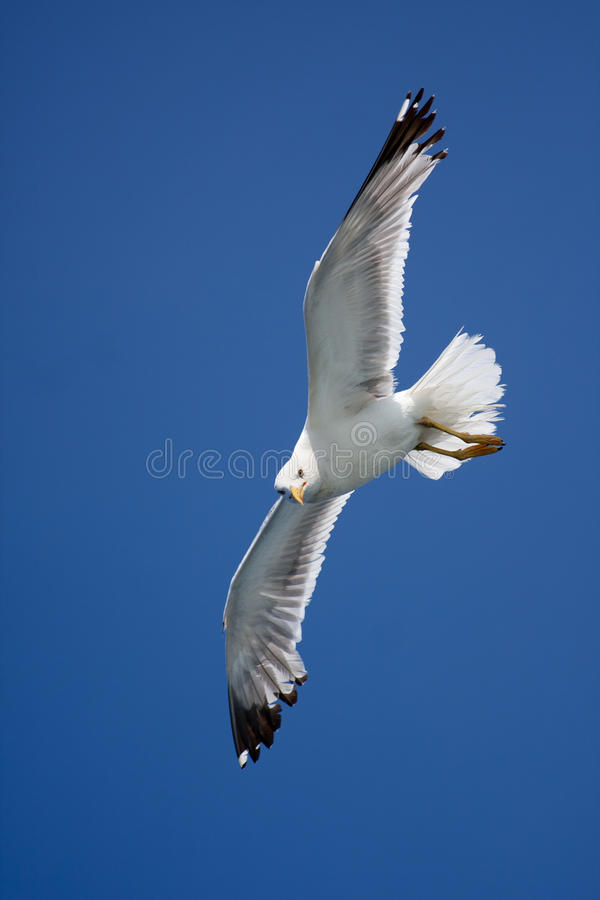 Free Seagull In The Sky Royalty Free Stock Photography - 16563067