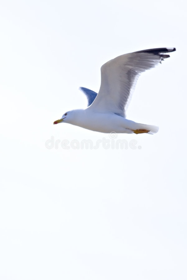 Download Seagull Isolated Royalty Free Stock Images - Image: 699459