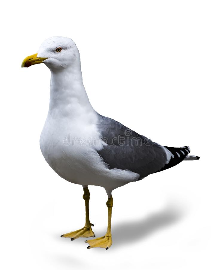 Seagull isolated, background color white royalty free stock photo