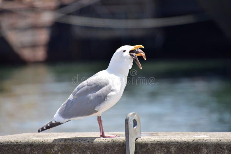 Seagull jest w trakcie łykać rozgwiazdy całej zdjęcie royalty free