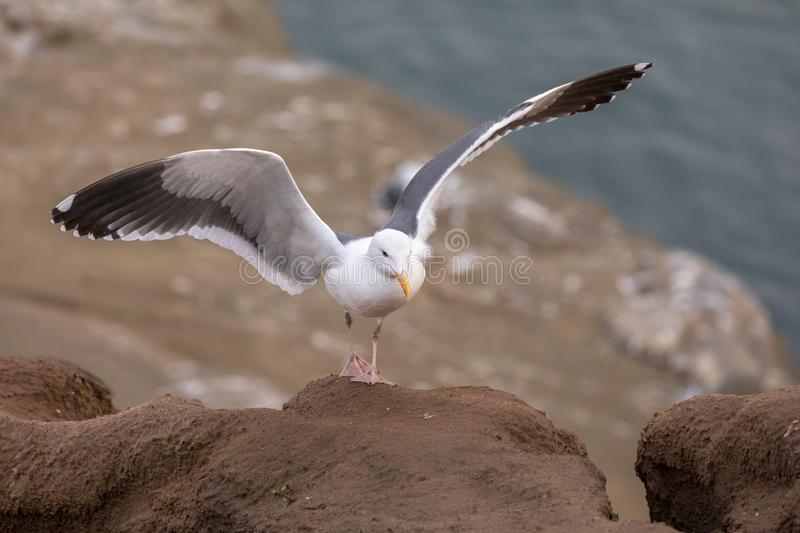 Seagull just landed on a rock along the cliffs stock photography
