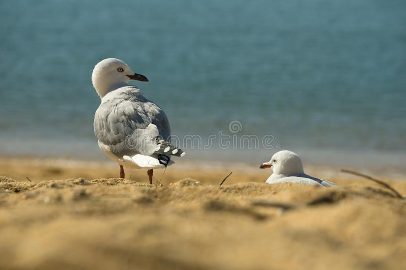 Seagull in Kaiteriteri Beach royalty free stock photo