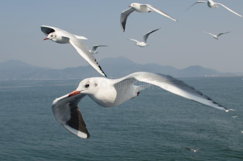 Seagull (Kamome) flock. Photo was taken in shimabara sea, Japan
