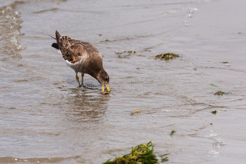 Seagull karmienie na milczku, Paracas, Peru fotografia royalty free