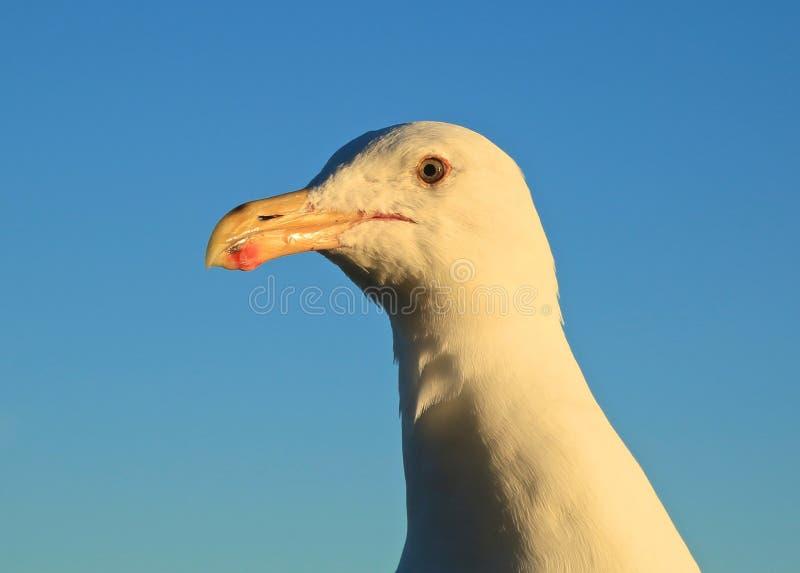 Seagull kierowniczy portret zdjęcie royalty free