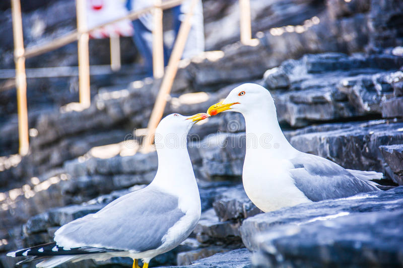 Seagull kiss royalty free stock photo