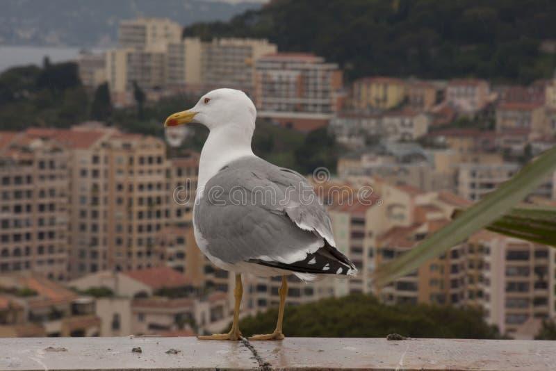 Seagull kontempluje Monaco zdjęcie stock