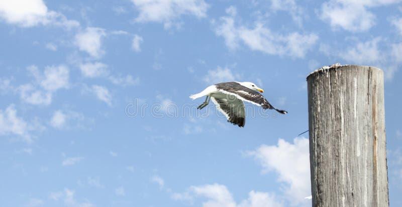 Seagull lądowanie na drewnianym filarze zdjęcia royalty free