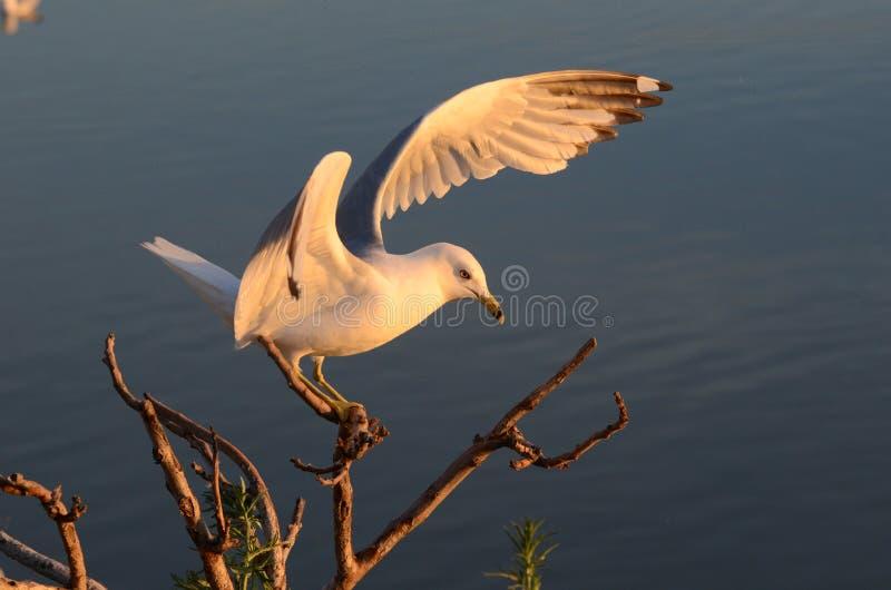 Seagull lądowanie na górze gałąź zdjęcia stock