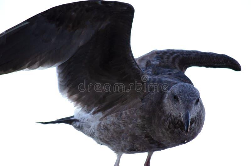 Seagull l?dowanie na por?czu fotografia stock