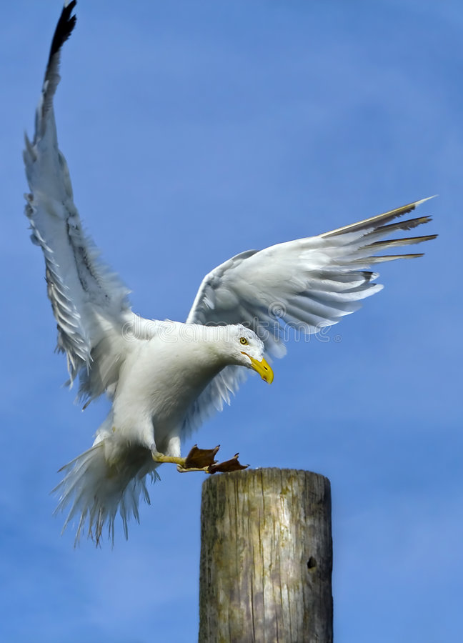 Free Seagull Land On Post Stock Image - 6458831