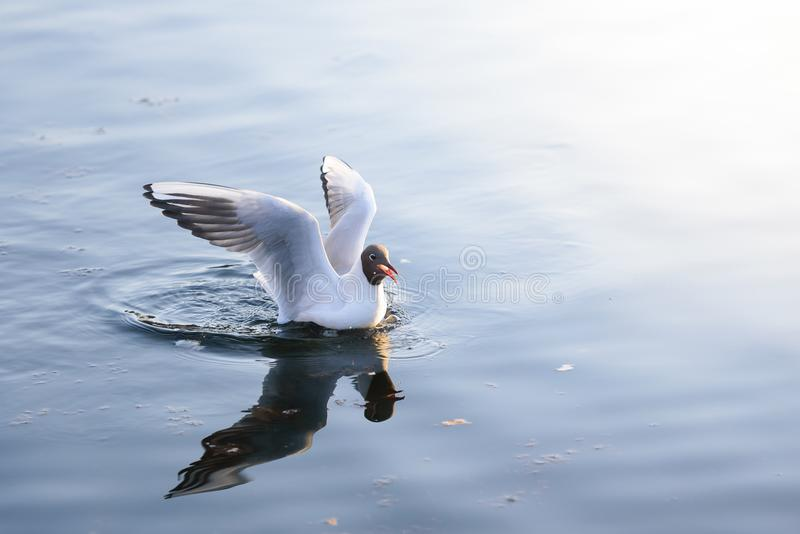 Seagull landed on the water stock photography