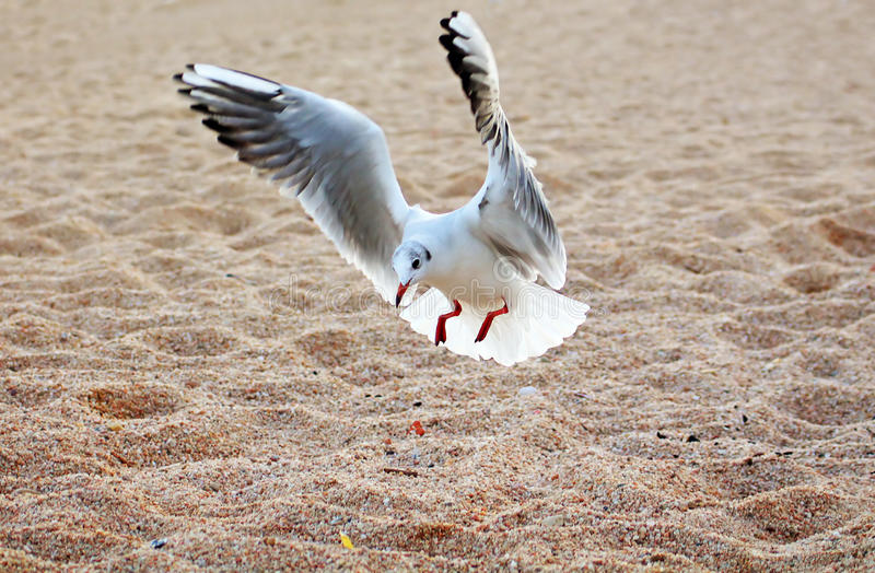 Seagull is landing royalty free stock photos