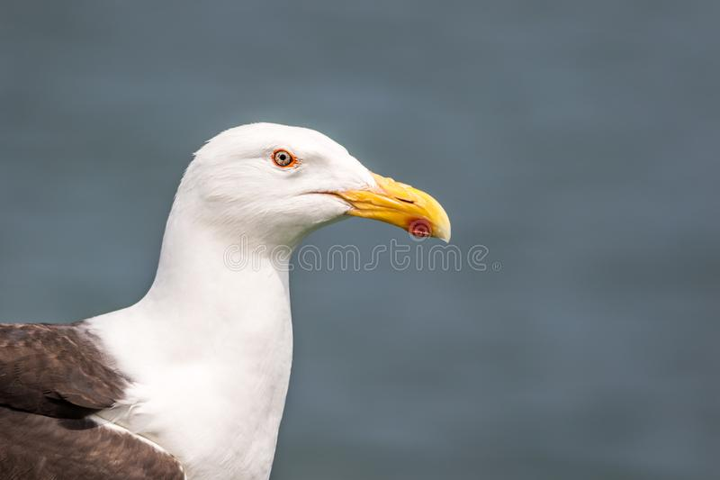 Seagull Laridae closeup against clean blue gray background. Common gull looking for oysters royalty free stock photography