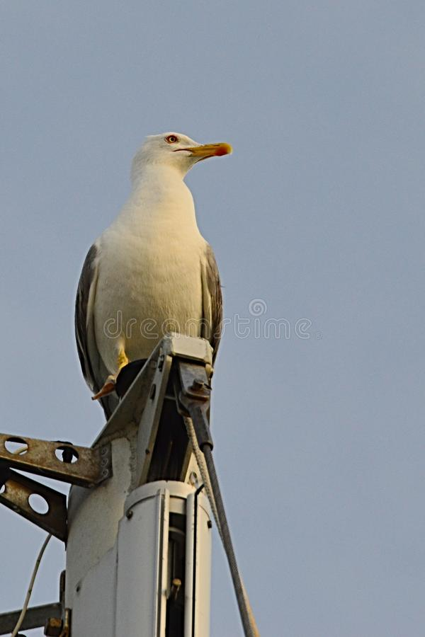 Seagull of laridae family sitting on top of mast of modern luxury yacht looking right royalty free stock photo