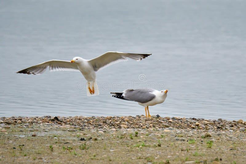 Seagull, Larus michahellis w bavaria zdjęcia stock