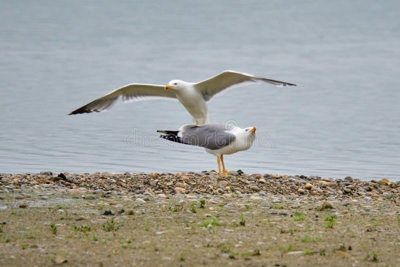 Seagull, Larus michahellis w bavaria obraz stock