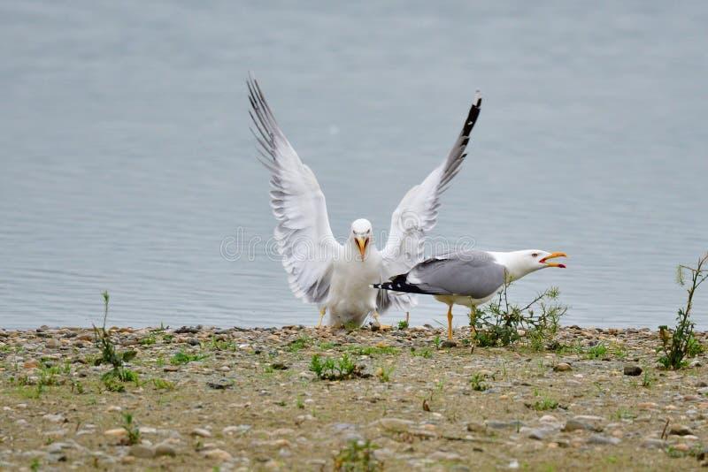 Seagull, Larus michahellis w bavaria zdjęcie royalty free
