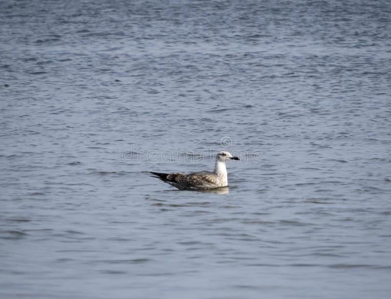 seagull lata nad dennymi frajerami nad morzem Seagulls w locie zdjęcie stock