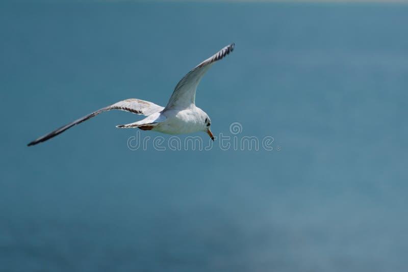 Seagull lata nad morzem, patrzeje w dół zdjęcie royalty free