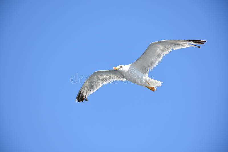 Seagull lata nad niebieskim niebem bez jeden nogi fotografia stock