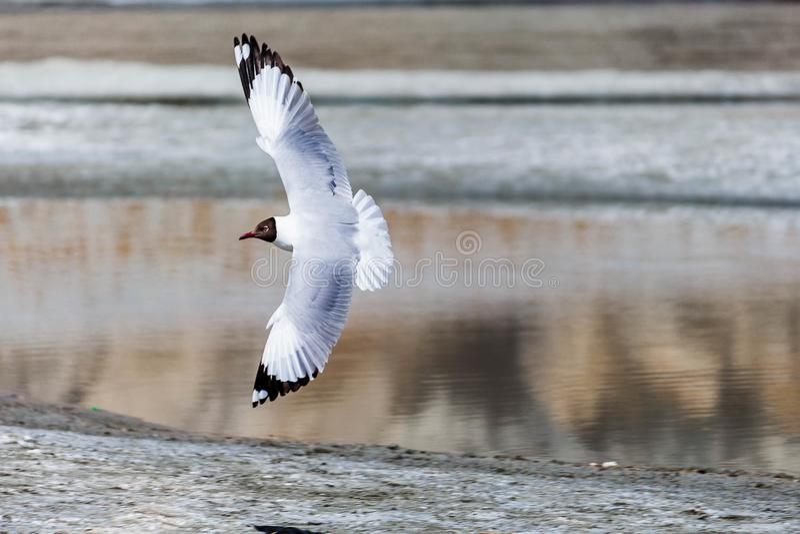 Seagull Lata Pionowo Blisko jeziora! fotografia royalty free