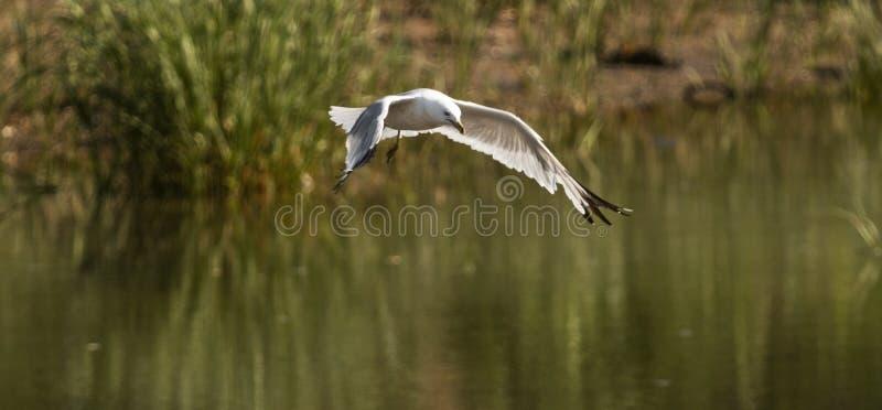 Seagull latająca depresja nad zatoczką patrzeje dla ryba zdjęcie royalty free