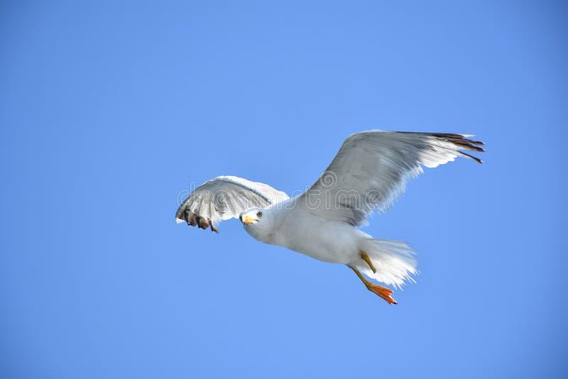 Seagull latanie zdjęcie royalty free