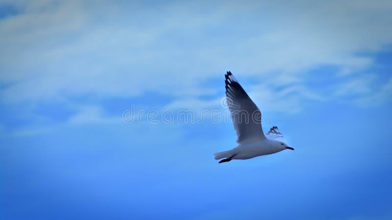 Seagull latanie na niebieskim niebie zdjęcie stock