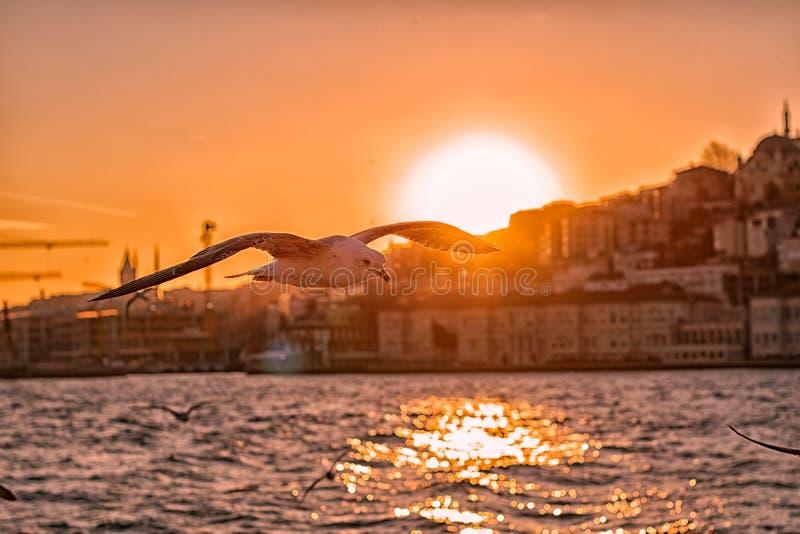 Seagull latanie przy zmierzchem zdjęcie stock