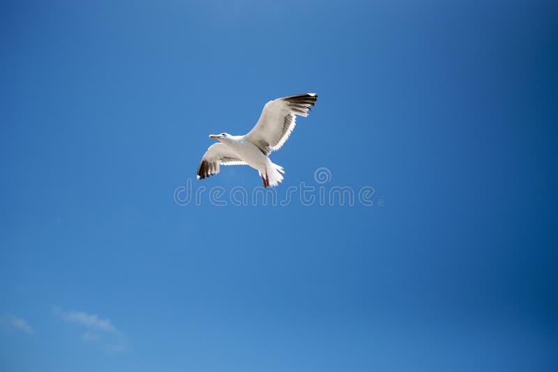 Seagull latanie uwalnia w niebie zdjęcie royalty free