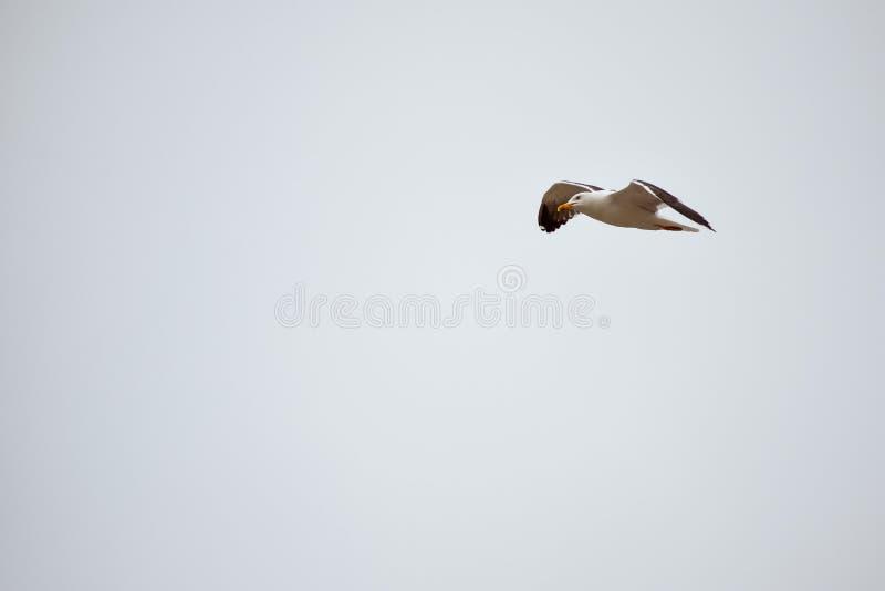 Seagull latanie w niebieskim niebie Wolności furora Przestrze? dla teksta obrazy royalty free
