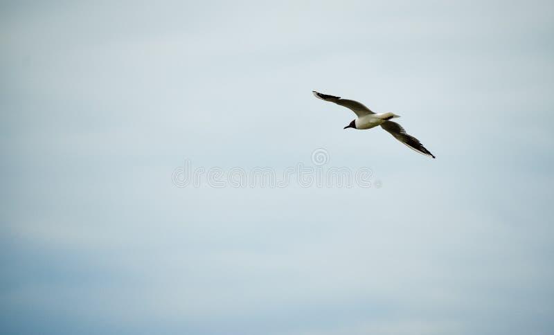 Seagull latanie w niebieskim niebie Wolności furora Przestrze? dla teksta obraz royalty free