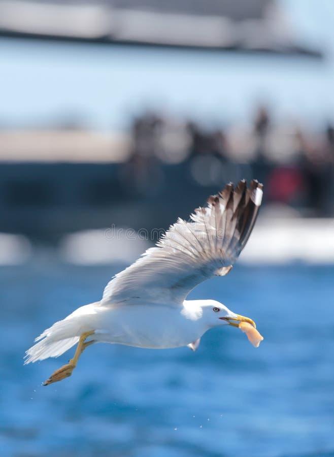 Seagull latanie w oceanie blisko regatta żeglowania łodzi obraz stock