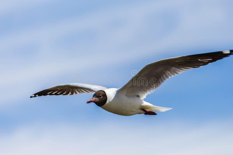 Seagull latanie z niebieskim niebem w tle zdjęcia stock