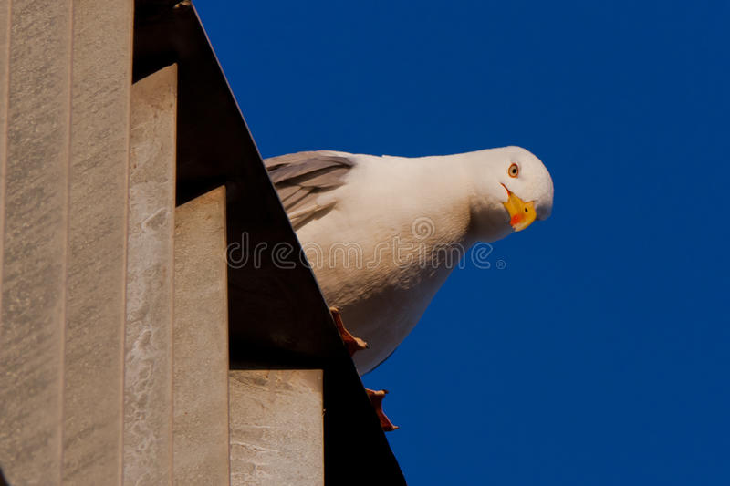 Download Seagull looking down stock image. Image of near, animal - 27580491
