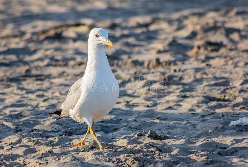 Seagull looking for food on the beach, a very intelligent animal adapts to situations and environments.  stock photo