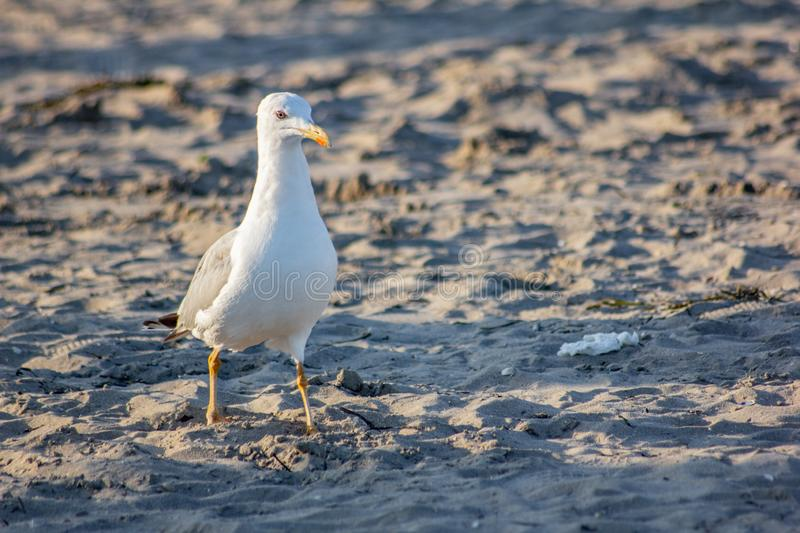 Seagull looking for food on the beach, a very intelligent animal adapts to situations and environments.  royalty free stock images