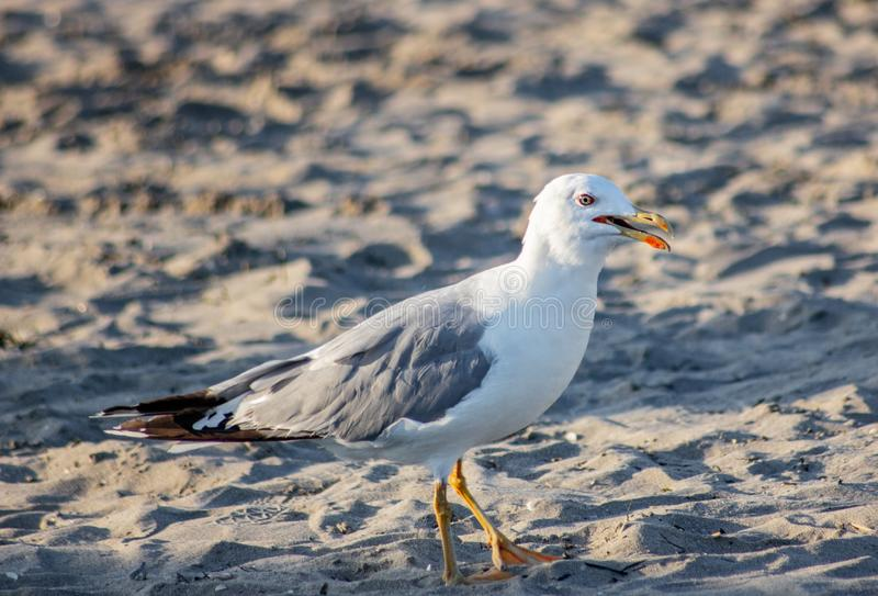 Seagull looking for food on the beach, a very intelligent animal adapts to situations and environments.  stock photos