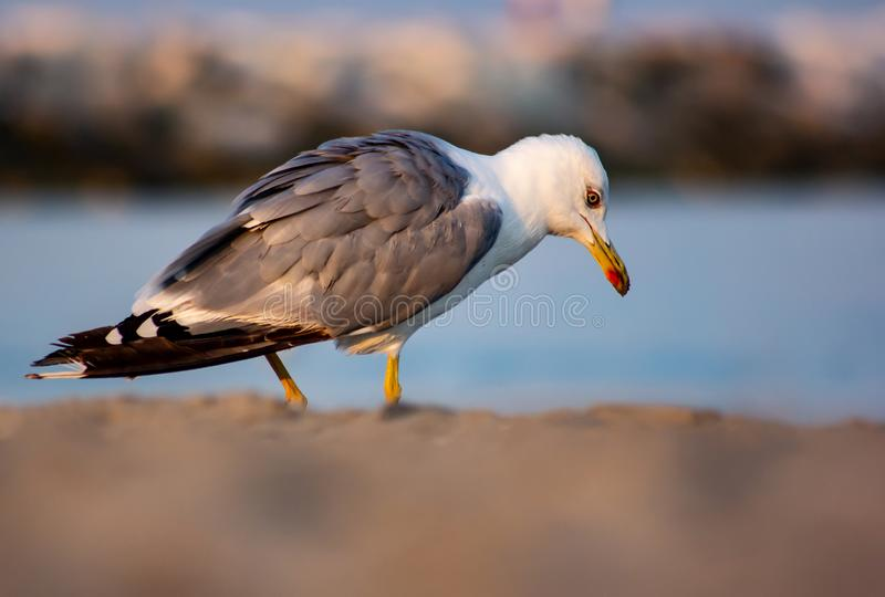 A seagull looking for food on the beachside backside stock photo