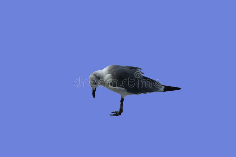 Sad seagull has its head bowed. A seagull is looking at the ground sad and depressed royalty free stock photos