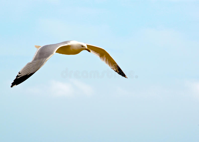 Seagull lyme regis fotografia stock