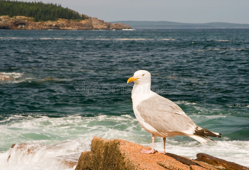Seagull on Maine coast. A closeup view of a large seagull, standing on the rocks along the rugged Maine Coast. Arcadia National Park, Bar Harbor, Maine stock photo