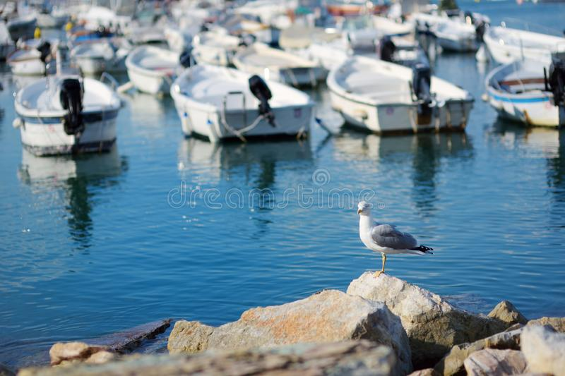 Seagull in marina of Lerici town, a part of the Italian Riviera, Italy. Seagull in marina of Lerici town, located in the province of La Spezia in Liguria, part royalty free stock photo
