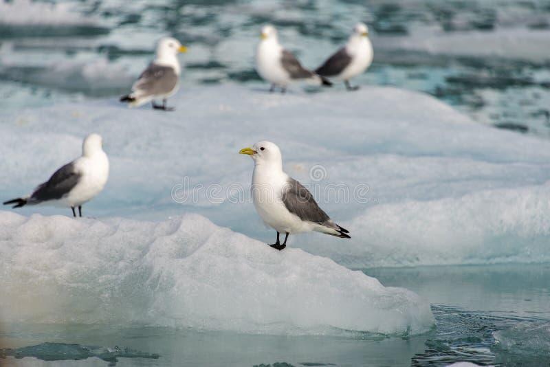 Seagull med den öppna näbb som sitter på isen arkivfoton