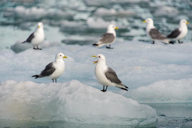 Seagull med den öppna näbb som sitter på isen royaltyfria bilder