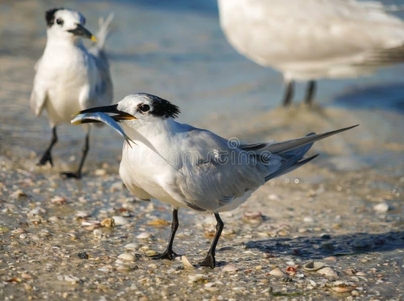 Seagull med fisken vid havet på stranden fotografering för bildbyråer
