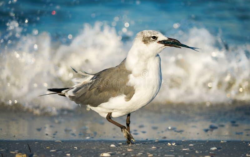 Seagull med fisken vid vågen på stranden royaltyfri fotografi