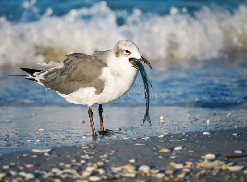 Seagull med fisken vid vågor på stranden arkivfoton